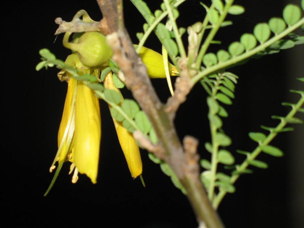 Kowhai flowering In May