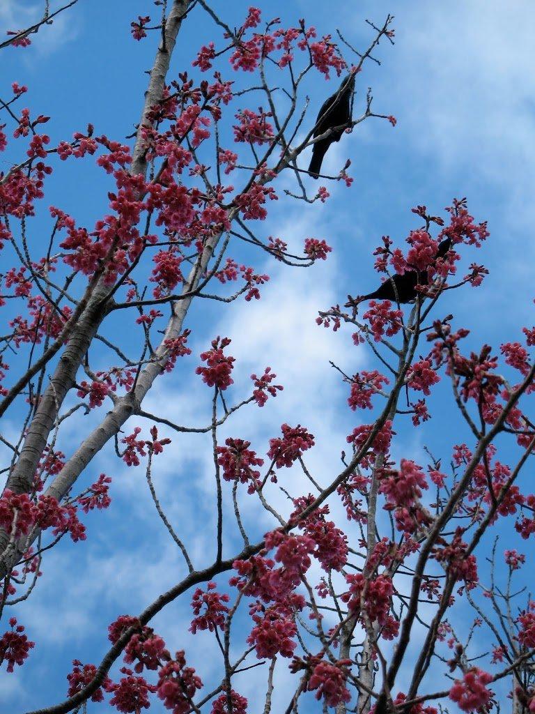 The last flowering cherry