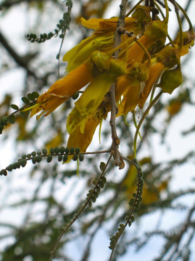 Brave kowhai in the storm