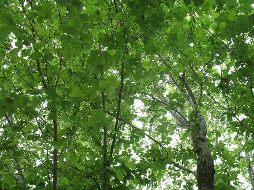 The leafiness of trees