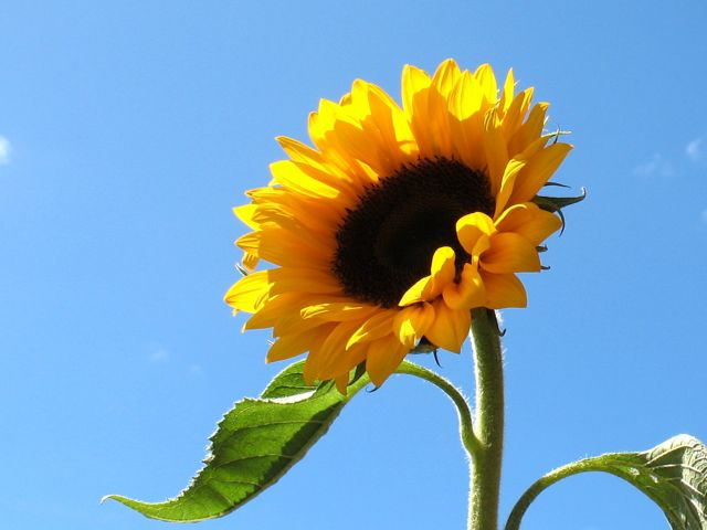 Sunflower for Japan