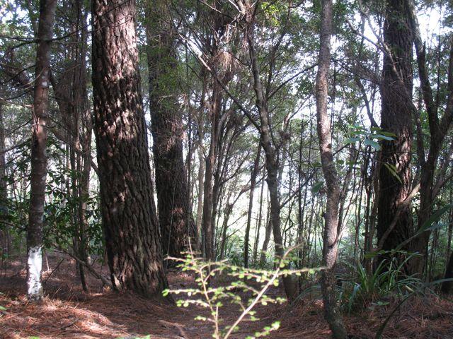Pine-coning
