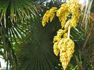 Palm yellow flowers 2 juliet batten palm yellow flowers 2 mightylinksfo