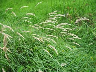 Grasses in the rain