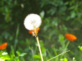 Tick tock, dandelion clock