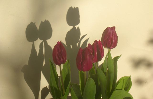 Tulips pink against wall