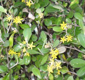 Corokia in spring