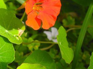 bach-garden-nasturtium-4