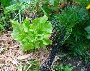 bach-lettuce-img_2413