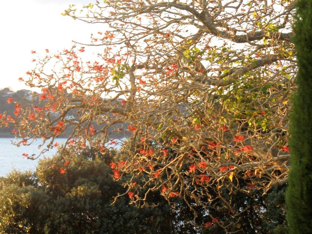 Flame tree defying winter cold