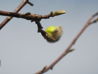 Buds opening