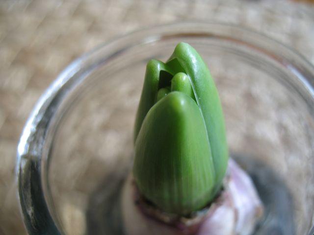 Cosy hyacinths