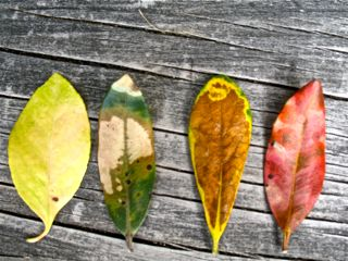 The colour of leaves