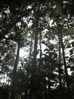 Pine cone memories