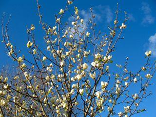 A Magnolia Moment